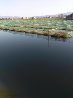 安徽池州东至县商品黄鳝 人工养殖