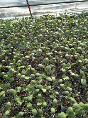 安徽阜阳颍上县8424西瓜 有籽 2茬 8成熟 6斤打底