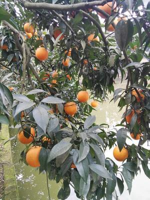 重庆长寿沙田柚 1.5斤以上