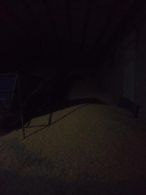 河北石家庄栾城区玉米干粮 霉变≤1% 净货