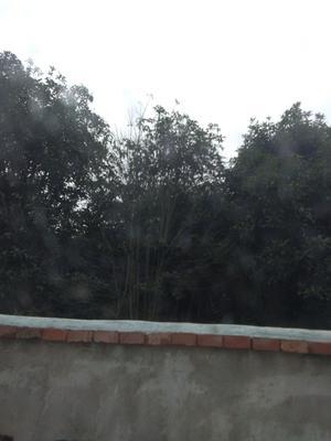 广西桂林全州县桂花树