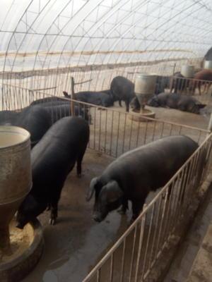 辽宁营口盖州市黑猪 300斤以上