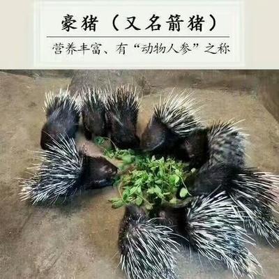 四川省广元市苍溪县四川豪猪 20-30斤