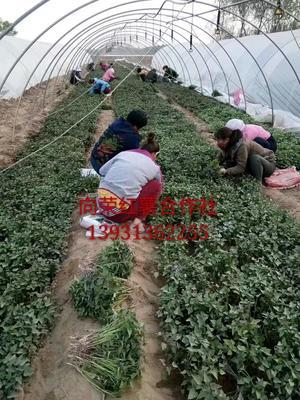 河北保定博野县烟薯25号红薯苗 15~25cm