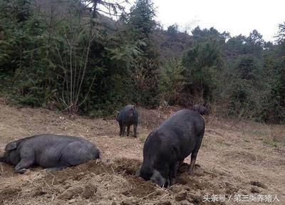 甘肃庆阳环县土猪 160斤以上