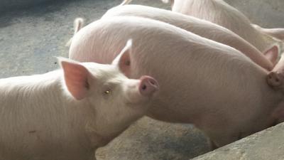 湖北恩施土宣恩县长白猪 200-300斤