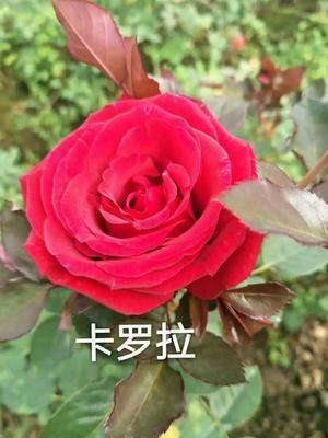云南昆明官渡区大花月季