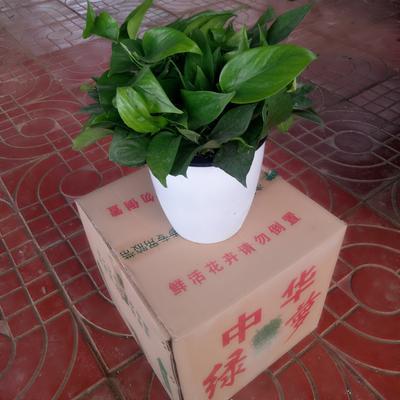 山东临沂罗庄区绿萝