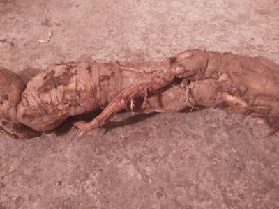 四川泸州泸县野生葛根 4.5斤以上