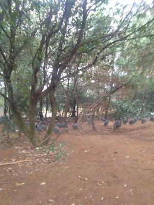 江西宜春樟树市灰色珍珠鸡 2-4斤