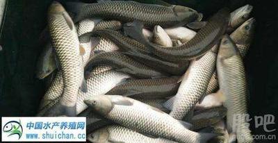 江苏苏州吴江市彭泽鲫鱼 人工养殖 0.25-1龙8国际官网官方网站