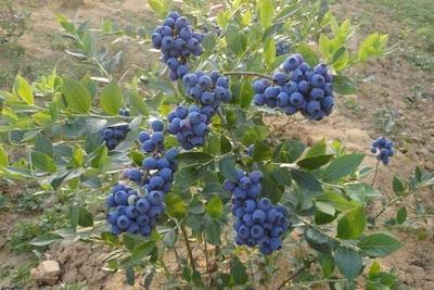 湖北十堰房县矮丛蓝莓 鲜果 6 - 8mm以上