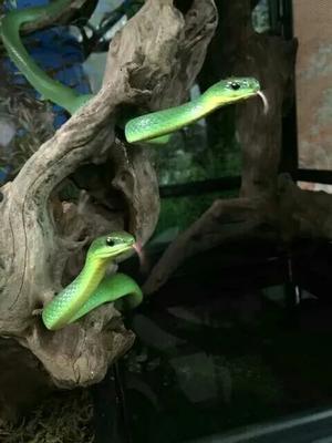重庆奉节翠青蛇 作种