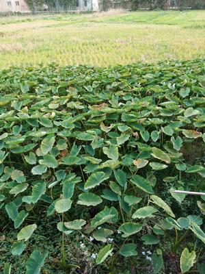 广西南宁宾阳县芋头种子 6cm以上