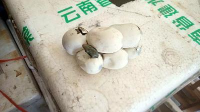 重庆奉节县锦蛇苗