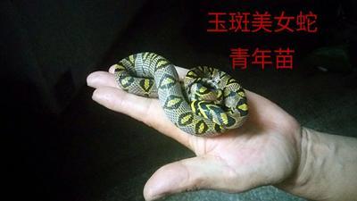 重庆奉节玉斑美女蛇 作种