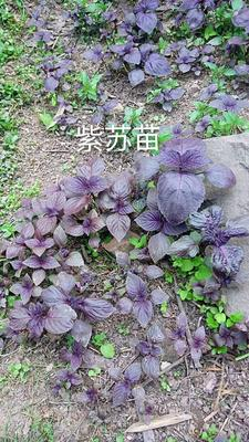 重庆奉节县野生紫苏