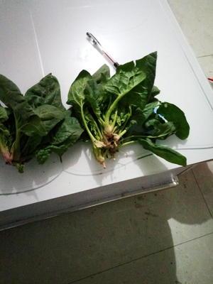 河南周口郸城县大叶菠菜 15~20cm