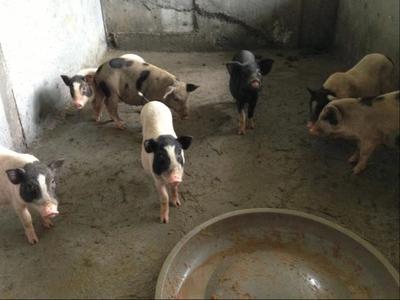 广西钦州灵山县巴马香猪 60斤以上