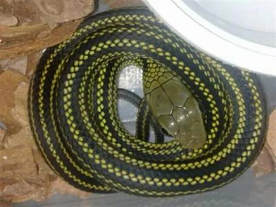 重庆奉节乌梢蛇 作种