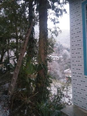 贵州遵义仁怀市野生红豆杉 5米以上