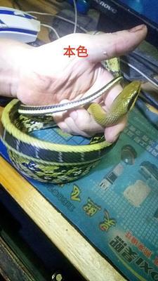 重庆奉节黑媚锦蛇 作种