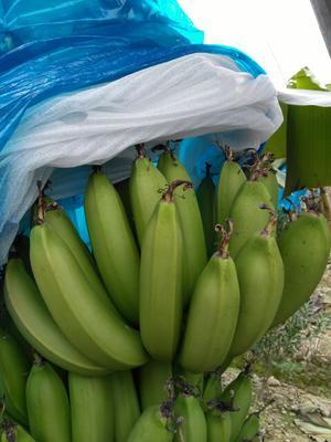 广东江门新会区巴西香蕉 七成熟 40 - 50斤