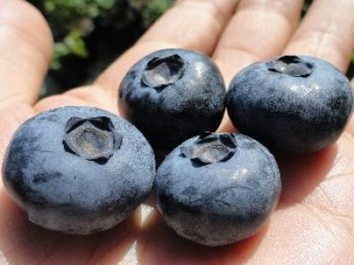 广西河池金城江区奥尼尔蓝莓 鲜果 10 - 12mm以上