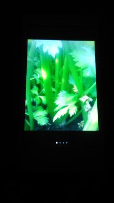 陕西省西安市高陵县美国文图拉芹菜 55~60cm 大棚种植 0.5~1.0斤
