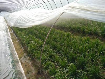 安徽合肥长丰县仙子韭菜 二茬 20~30cm