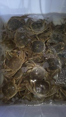江西上饶鄱阳县阳澄湖大闸蟹 2.0-2.5两 母蟹