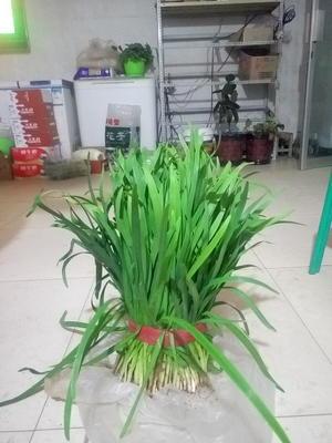 宁夏中卫沙坡头区富韭10号 二茬 30~35cm