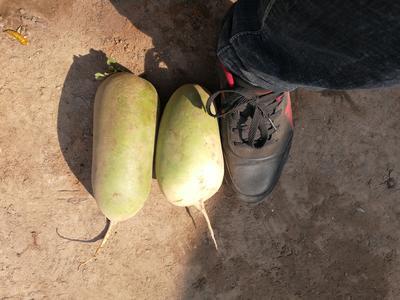河南开封通许县白萝卜 1.5~2斤