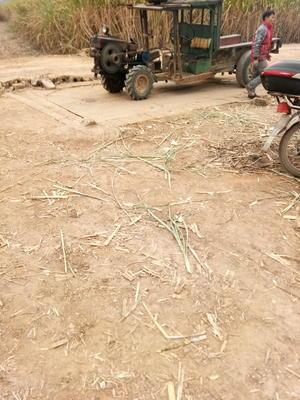 广西贵港覃塘区大灰种甘蔗 2.5 - 3m 2 - 3cm