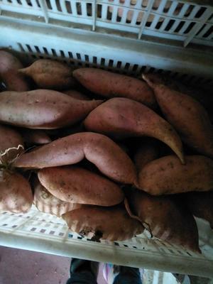 山东潍坊昌乐县红香蕉红薯 红皮 混装统货