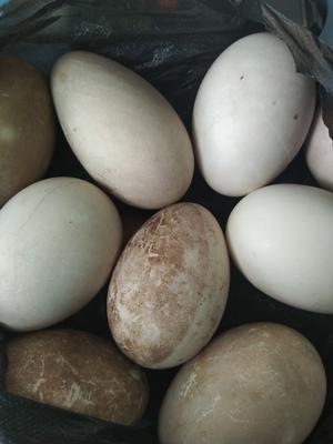 山东济南平阴县种鹅蛋 食用 散装