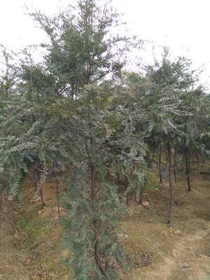 四川成都邛崃市南方红豆杉 2.5~3米
