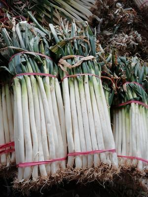 河南南阳卧龙区铁杆大葱 2cm左右 40cm以上 净葱