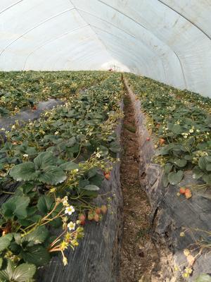 安徽淮南潘集区纯绿色无公害草莓 20克以上