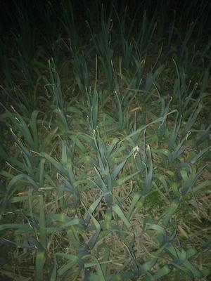 四川德阳绵竹市红根蒜苗 40cm以下