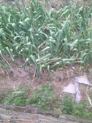 江西上饶鄱阳县红根蒜苗 45 - 50cm