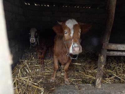 贵州毕节赫章县黄牛 600-800斤 母牛