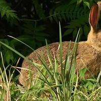 河南商丘梁园区野兔 1-3斤