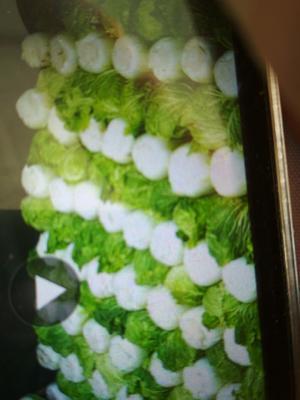 河北唐山滦南县北京三号大白菜 6~10斤 毛菜