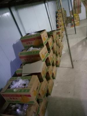 广西桂林全州县老挝香蕉 七成熟 25.0斤