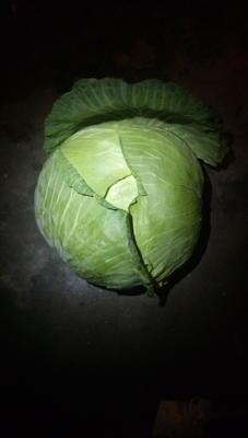 这是一张关于京丰一号甘蓝 2.5~3.0斤的产品图片
