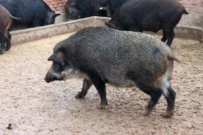 这是一张关于商品野猪 40-60斤 统货的产品图片
