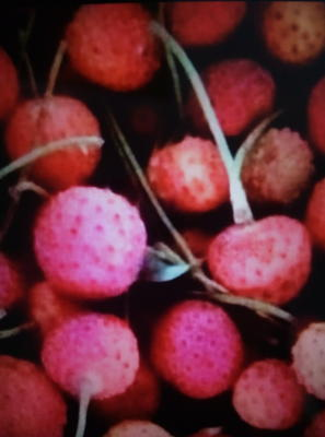 这是一张关于石枣苗的产品图片