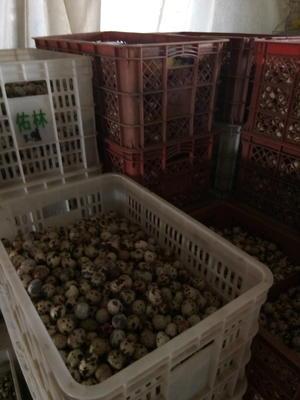 河南省濮阳市台前县土鹌鹑蛋 食用 散装