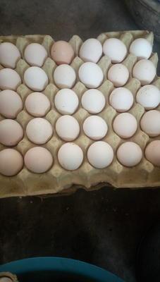 河北邯郸磁县土鸡蛋 孵化 散装